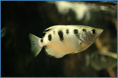 Aquahome Archer Fish