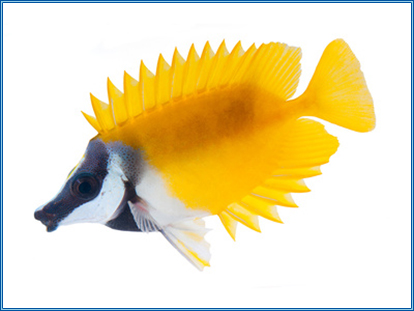 Aquahome Foxface - Rabbit Fish