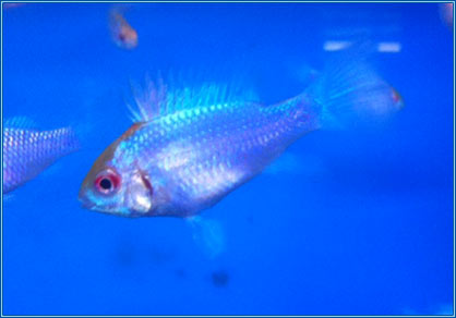 Tropical – 'Orange Head' Electric Blue Rams