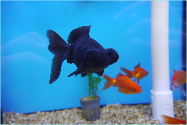 Coldwater fish for Cold water pet fish
