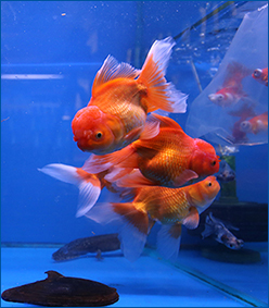 Aquahome Fancy Goldfish