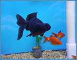 Aquahome Black Moor