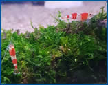 Aquahome Crystal Shrimp