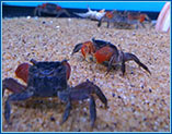Aquahome Red Crabs