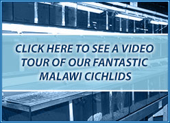 Malawi cichlids section video tour